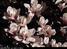 Magnolia Speciosa (Magnolia sou. Speciosa)