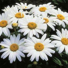 Margarete (Leucanthemum Snow Lady)