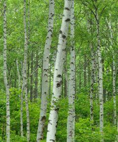 Mesteacan (Betula pendula) 120-150 cm