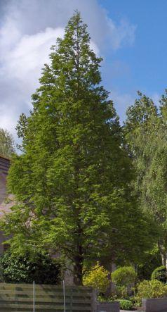Metasequoia  (Metasequoia glyptostroboides)