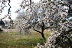 Migdal (Prunus amygdaloides)