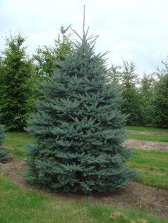Molid argintiu  (Picea pungens glauca) 50-60 cm