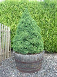 Molid conic (Picea glauca Conica)