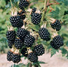 Mur fara spini (Rubus hirtus Thornfree)