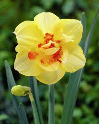 Narcise Tahiti  (Narcissus Tahiti)