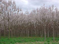 Paulownia (Paulownia tomentosa) 80-120 cm