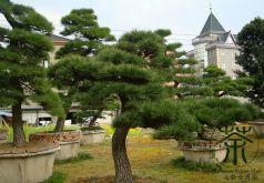 Pin negru japonez  (Pinus thunbergii)