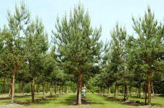 Pin silvestru (Pinus sylvestris)