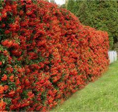 Piracanta rosie (Pyracantha Red Column)