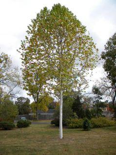 Platan  (Platanus acerifolia) 150-200 cm