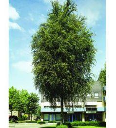 Plop chinezesc (Populus simonii)