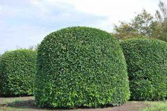 Prunus lusitanica  - Laur portughez