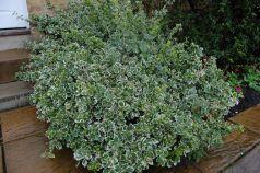 Salba argintie (Euonymus fortunei Emerald Gaiety)