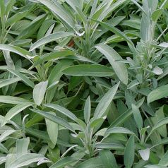 Salvie (Salvia officinalis)
