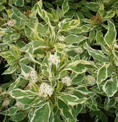 Sanger decorativ  (Cornus alba argenteo margenata)