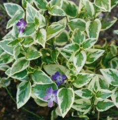 Saschiu (Vinca major Variegata)