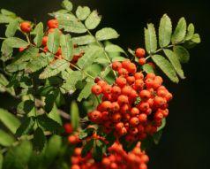 Scorus de munte (Sorbus aucuparia)