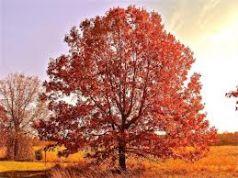 Stejar rosu (Quercus rubra)