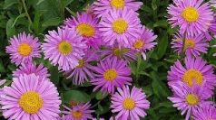 Stelute de toamna (Aster alpinus Happy End)