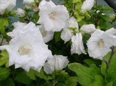 Trandafir chinezesc alba (Hibiscus syriacus William r. Smith)