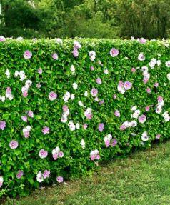Trandafir chinezesc (Hibiscus syriacus)