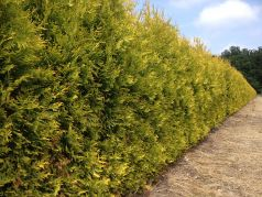 Tuia galbena (Thuja occ. Yellow Ribbon)