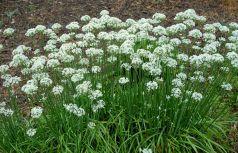 Usturoi de frunze (Allium tuberosum)