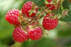 Zmeur (Rubus idaeus)