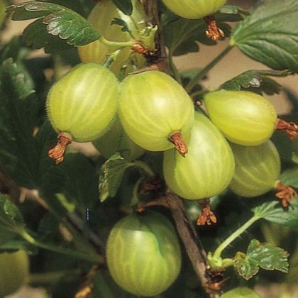 Agris verde (Ribes uva crispa hinna. Grun)