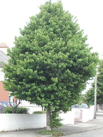 Alun turcesc (Corylus colurna)