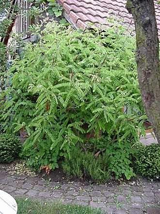 Amorfa (Amorpha fruticosa) 80-120 cm