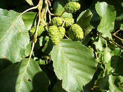 Anin (Alnus glutinosa)