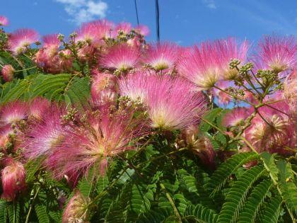 Arborele de matase (Albizia julibrissim)