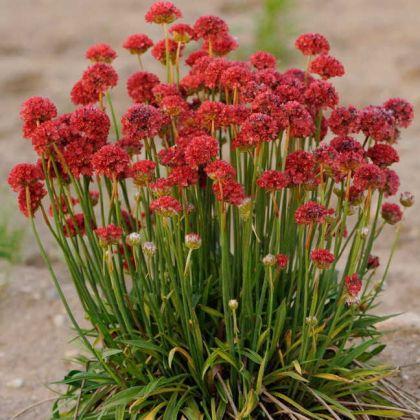 Armeria (Armeria pseudarmeria Ballerina Red)