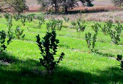 Aronia viking (Aronia prunifolia viking)