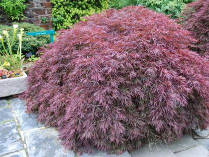 Artar japonez Garnet (Acer palmatum Garnet)