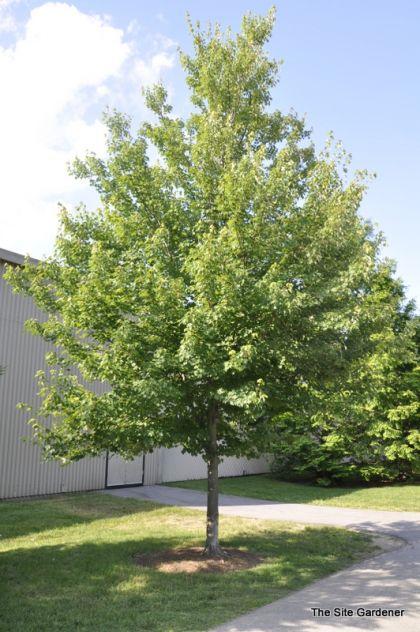 Artar rosu (Acer rubrum October Glory) 40-60 cm