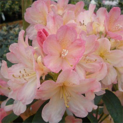 Azalee japoneza ( Rhododendron Percy Wiseman)