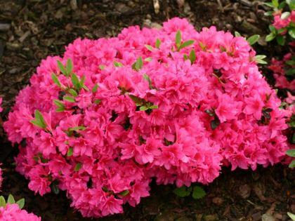Azalee melina (Rhododendron Melina)
