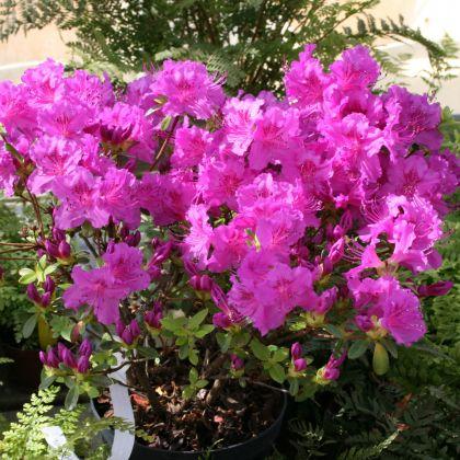 Azalee violet (Rhododendron Konigstein)