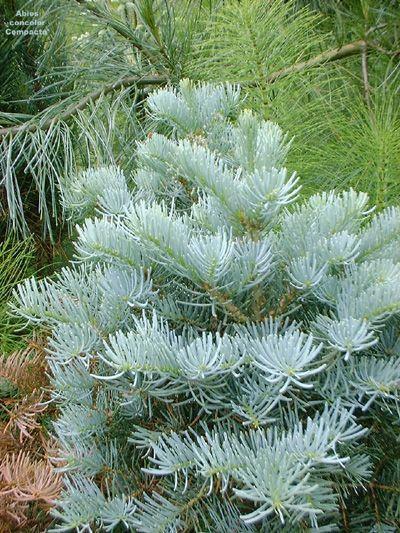 Brad alb (Abies concolor) 40-60 cm