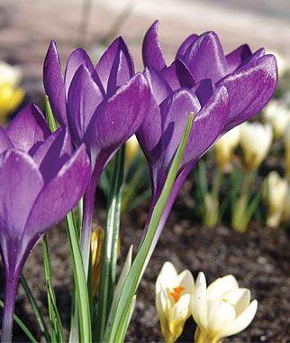Branduse Barrs purple (Crocus Barrs purple)