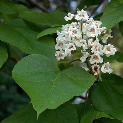 Catalpa bignoninoides seminte pf