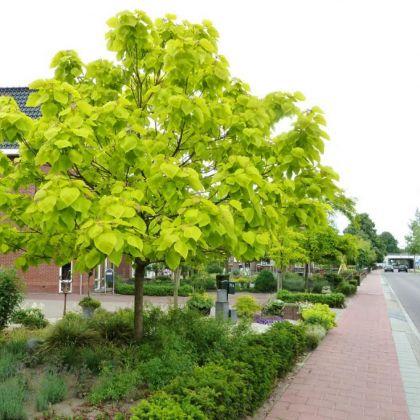 Catalpa galbena (Catalpa bignonioides Aurea)