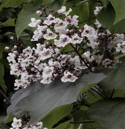 Catalpa purpurie (Catalpa erubescens Purpurea)