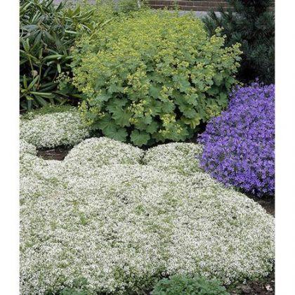 Cimbrisor alb (Thymus albiflorus)