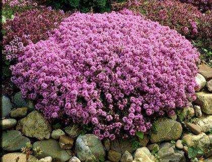 Cimbrisor rosu (Thymus praecox Red Carpet)