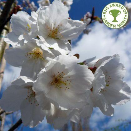 Cires japonez alb  (Prunus serrulata Tai Haku)