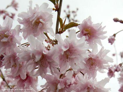Cires japonez roz (Prunus incisa Oshidori)