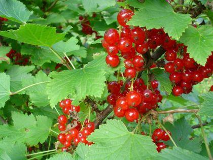 Coacaz rosu (Ribes rubrum)